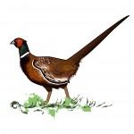 medziojamasis fazanas